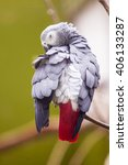 Small photo of African Gray parrot preening