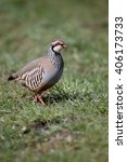 Small photo of Red-legged partridge, Alectoris rufa, single bird on grass, Warwickshire, April 2016