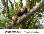 red panda intrigued by something | Shutterstock . vector #406180663
