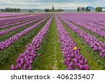 Skagit Valley Tulips. Every...