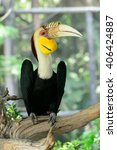 Small photo of Wreathed Hornbill (Aceros Undulatus)