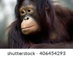 portrait of orangutan in the... | Shutterstock . vector #406454293