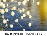 Cotton Grass In Windy Weather...