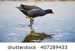 Common Moorhen  Gallinula...