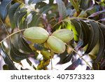 Three Pecan Nuts Growing On Tree