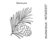 Pinus Sibirica  Or Siberian...