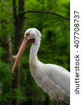 Small photo of American White Pelican (Pelecanus erythrorhynchos)