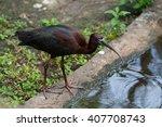 Glossy Ibis  Plegadis...