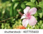 Pink Star Hibiscus With Green...