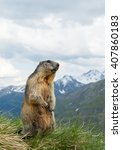 Small photo of Alpine marmot standing in the grass, with snowy mountains in the background, Austria, Europe