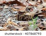 Large     Tailed Nightjar