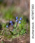 Small photo of Wood squill (Scilla siberica) flowers in spring