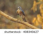 Small photo of Beautiful of the Hawk, Besra (Accipiter virgatus), Standing on branch, Showing its front profile, in nature of Thailand