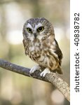 Small photo of Northern Saw Whet Owl (Aegolius acadicus)