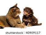 Stock photo cat and lapdog in studio 40909117