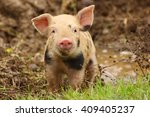 Cute Piglet Watching At Camera