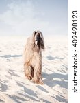 Small photo of Afghan Hound Running