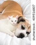 Stock photo close up of white cat loving boxer mix dog sleeping together on bed 409516807