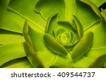 Small photo of Extreme closeup of a beautiful Hen and Chicks or Rosette or stone lotus plant nematodes in a garden