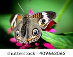 A Colorful Common Buckeye...