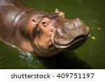 Hippopotamus In Zoo In Thailand