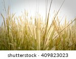 grass flower in the paddy field ... | Shutterstock . vector #409823023