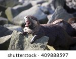 Small photo of Screaming Asian Oriental small-clawed otter, Amblonyx cinerea