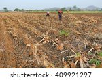people are harvesting cassava ... | Shutterstock . vector #409921297