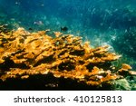 Small photo of Acropora palmata: Yellow elkhorn coral underwater (critically endangered) in the Florida Keys