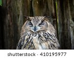 Head Of A Spotted Eagle Owl ...