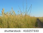 Small photo of There is a cichorium intybus among steppe grasses (agropyron). Road. Sky