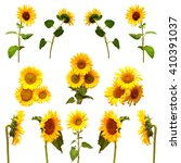 Постер, плакат: Collection of sunflowers isolated