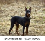 Small photo of German Pinscher on a walk in the autumn forest