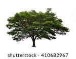 Big Mimosa Tree On White...