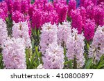 Hyacinths Grow In The Garden