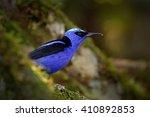 shining honeycreeper  cyanerpes ... | Shutterstock . vector #410892853