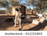 An Anatolian Shepard Livestock...