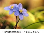 Blue Flowers   Hepatica...