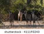 Adult Roan Antelope ...