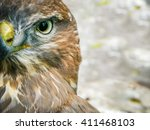 Hawk Bird  Portrait   Hawk Eye