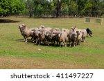 Dog Herding Sheep In Australia