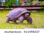 Aldabra Giant Tortoise ...