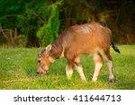 asian buffalo in rural thailand....   Shutterstock . vector #411644713