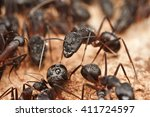 Big Carpenter Ants Inside The...