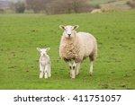 Ewe Sheep And Single Lamb On...