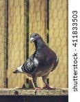Grey Racing Pigeon Male Inside...