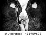 Black And White Cow Close Up...