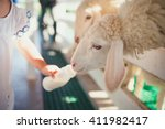Sheep Feeding. Close Up Child...