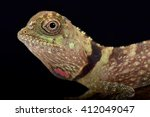 Small photo of Earless Agamid (Aphaniotis fusca)