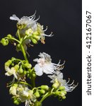Small photo of white flowers of aesculus hippocastanum